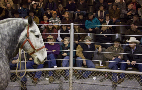 horse sales struggle with new rules canadian horse defence horse sales 465x295