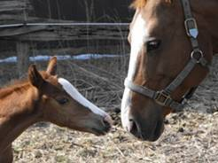 War Horse mare and foal