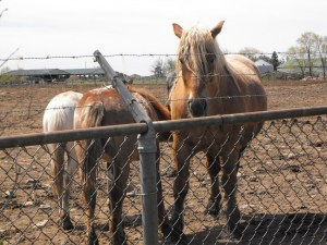 Grof May-12 Belgian mare and babies a week before Mother's Day