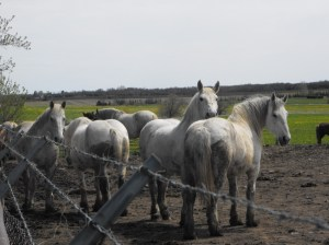 Grof May-12 Percherons