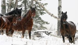 wild horses, Alberta