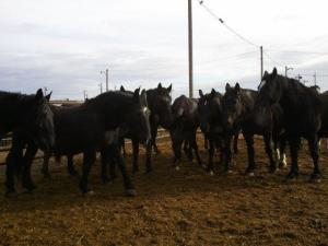 Percheron mares with foals at side