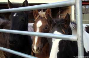 Canadian PMU foals rescued - photo by Vivan Grant Farrell