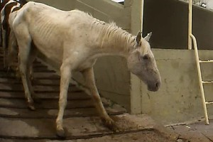 Emaciated horse at a slaugther plant - SRF Kassensturz