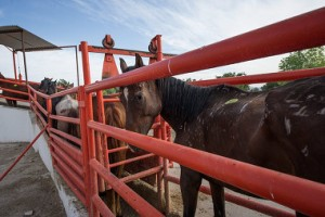 Horses line up at a Mexican slaughterhouse (Keyston)