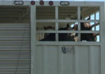 Slaughter-bound horses going to Bouvry Exports, Oct 2012, photo courtesy of Tierschutzbund