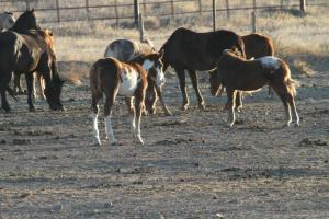 Mares and foals on Shelby, MT feedlot - photo by Tierschutzbund