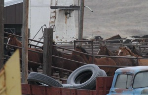 Horses being loaded onto truck for final journey to Bouvry slaughter plant Oct 2012 - photo Tierschutzbund