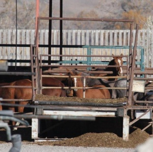 Young horse - holding pen at Bouvry slaughter plant - Oct 2012 - photo Tierschutzbund