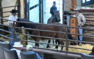 Horses are sold at a High River, AB auction - photo Global News