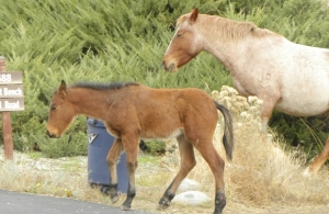 Wild horses along a road in the Penticton region