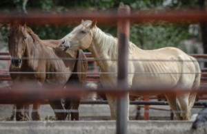 Roberto E. Rosales Pictured are horses that will be slaughtered at the city slaughterhouse in Juarez, Mexico.  Once horses are killed here, their meat is shipped overseas for consumption.  Juarez, Mexico.  (Albuquerque Journal)