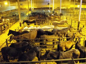 Grof horses going to slaughter
