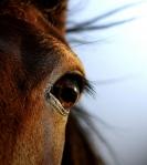 horse eye2