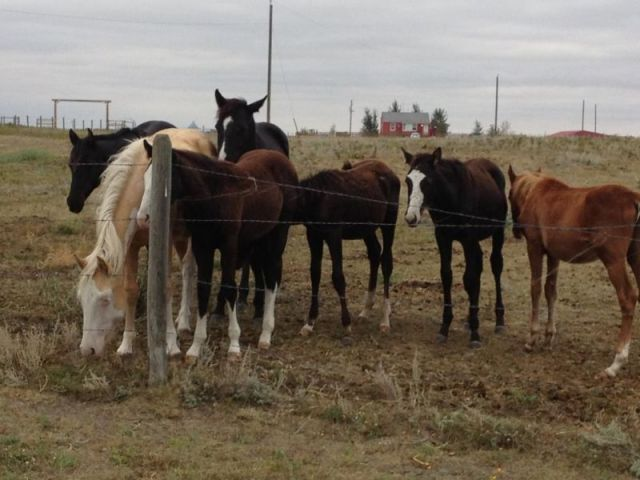 Siksika Nation Horses
