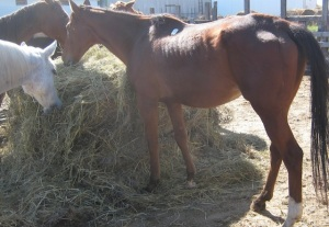 Reiki was in foal as she tried to nourish herself last September on her way to slaughter