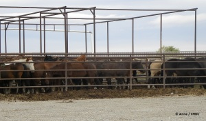 Horses about to be slaughtered at Bouvry Exports, Fort MacLeod, Alberta