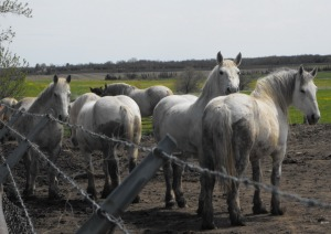 Percherons at Ontario kill buyer feedlot