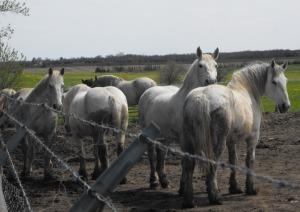 Percherons at Ontario kill buyer feedlot