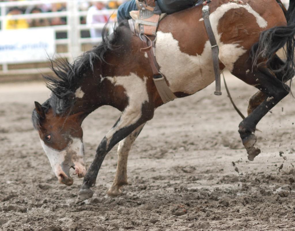 News Article Calgary Stampede Chuckwagon Horse S Death