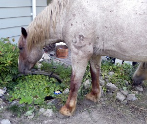 Feral horse in British Columbia (not the horse described in the article)