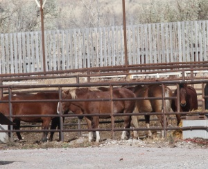 Robust, healthy horses awaiting slaughter at Bouvry Exports - photo courtesy Tierschutzbund & Animals' Angels