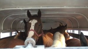 horses on transport