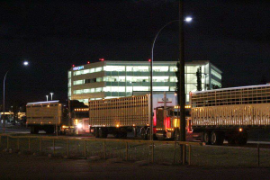Trailers with draft horses lined up beside WestJet's head office in Calgary.