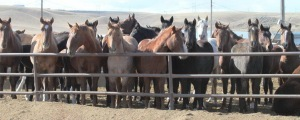 Horses on the Bouvry-owned Shelby Montana feedlot