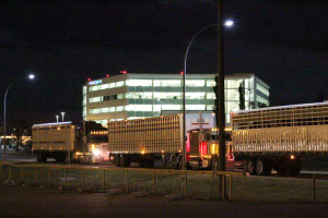 Trailer lined up at Calgary airport with horses destined for Japan in them.  Note the WestJet head office in the background.  Oct 2014