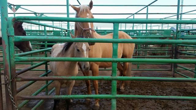 auction horses