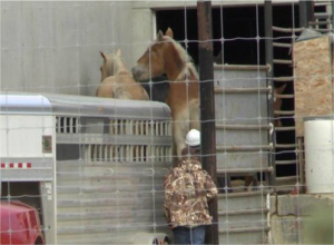 Belgian horses unloading at CPM in 2013