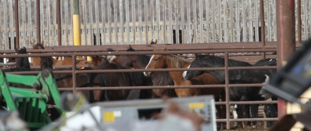 US horses at Bouvry plant during their last moments in the sun
