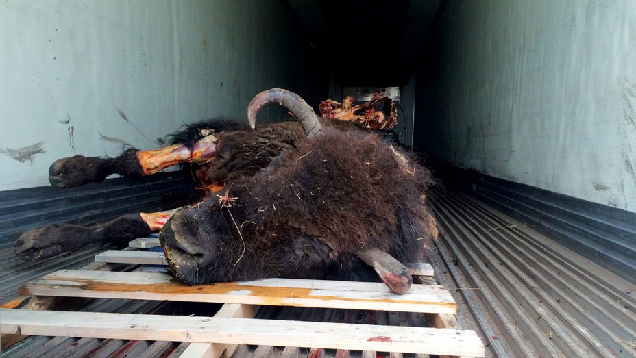 bison carcass