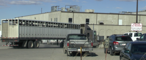 "More ""inventory"" arrives at the Bouvry slaughter plant"