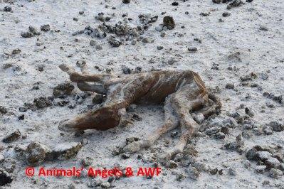 Bouvry SH feedlot_dead foal
