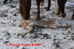 Bouvry SH feedlot_horses sniffing at dead foal