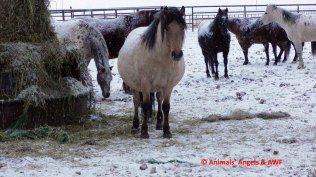 Bouvry SH feedlot_pregnant mare