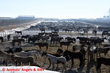 Prime Feedlot_crowded pens without shelter